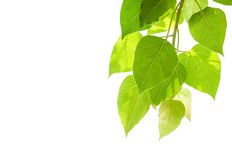 BO-Blätter lokalisiert auf Weiß Stockbilder