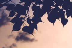 Bo drzewo, bothi drzewo Fotografia Stock
