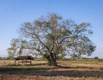 bo drzewo, bothi drzewo, pipal drzewo z budą w jesień sezonu natura Zdjęcie Stock