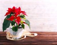 Boże Narodzenie kwiat - poinsecja zdjęcie royalty free