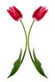 boże narodzenie tulipany Zdjęcie Royalty Free