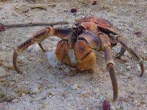 Bożenarodzeniowej wyspy rabusia krab Zdjęcia Stock