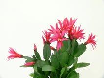Bożenarodzeniowy kaktus Zdjęcie Royalty Free