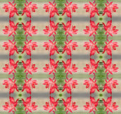 Bożenarodzeniowy kaktus (Schlumbergera) Obrazy Royalty Free