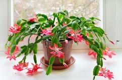 Bożenarodzeniowy kaktus (Schlumbergera) Zdjęcie Stock