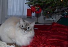 Bożenarodzeniowy Perski kot Zdjęcie Royalty Free