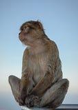 Bo i den engelska Gibraltar macaquen Arkivfoton