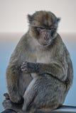 Bo i den engelska Gibraltar macaquen Arkivfoto