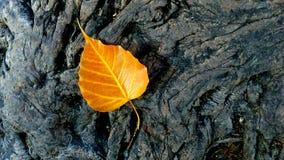 Bo leaf Fotografia Stock