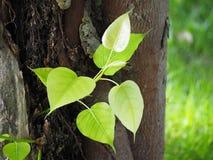 Bo leaf Zdjęcia Royalty Free