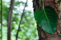 Bo leaf Zdjęcie Stock