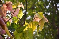Bo leaf cięcie światło słoneczne Zdjęcia Royalty Free