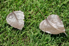 Bo leaf on the grass Royalty Free Stock Photos