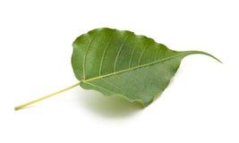 Bo leaf odosobniony Fotografia Royalty Free