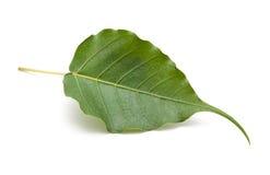 Bo leaf odosobniony Zdjęcia Stock