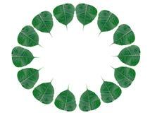 Bo leaf rama odizolowywająca Obraz Stock