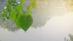 Bo leaves in green,Green heart-shaped leaves with the water and. In the morning light as background. Photo contain burry and soft focus Royalty Free Stock Image