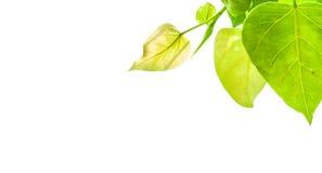 Bo leaves isolated on white Stock Image