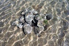 Bo ostron som lägger i sanden under att blänka havsvatten royaltyfri bild