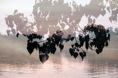 Bo Treesacred无花果,在河背景叠加的榕属religiosa叶子剪影  免版税库存图片