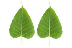 A BO verde folheia fotografia de stock