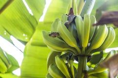 Boa σφιγκτήρας μέσα στις εγκαταστάσεις μπανανών Στοκ φωτογραφία με δικαίωμα ελεύθερης χρήσης