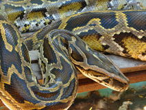 boa σφιγκτήρας python Στοκ Φωτογραφίες