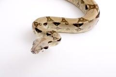 boa φίδι σφιγκτήρων Στοκ Εικόνα