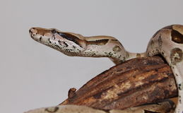 Boa. Red-tailed Boa constrictor wrapped around her log Royalty Free Stock Photos