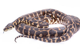 Boa cobstrictor Stock Photo