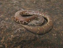 Boa commun de sable, conucus de Gongylophis, non venimeux, commun, Saswad, maharashtra photographie stock