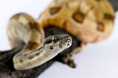 Boa Constrictor Royalty Free Stock Photography