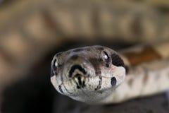 Boa constrictor stockfotografie