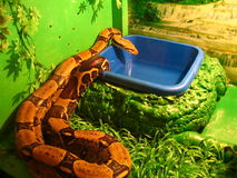 Boa constrictor Stock Photos