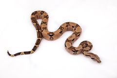 Boa constrictor. On white background Royalty Free Stock Photo