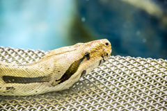 Boa Constrictor Stock Photography