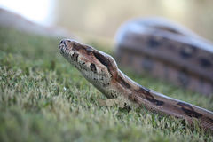 Free Boa Constrictor Royalty Free Stock Photography - 29176027