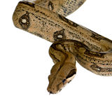 Boa constrictor stockfoto
