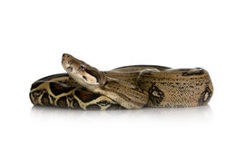Boa constrictor Royalty Free Stock Images