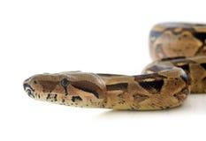Boa constrictor stockbild