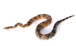 Boa constrictor lizenzfreies stockbild