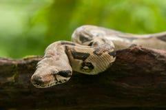 Boa constrictor fotografie stock