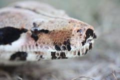Boa constrictor Immagini Stock Libere da Diritti