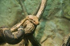Boa constrictor Immagine Stock