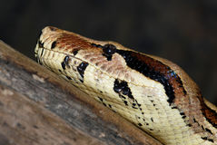 Boa constrictor Royalty Free Stock Photo