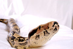 Free Boa Constrictor Royalty Free Stock Photography - 917317