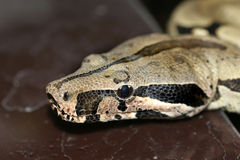 Boa constrictor. Close up of a boa snake Royalty Free Stock Photos