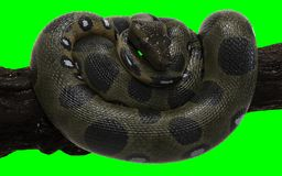 Boa Constrictor with Clipping Path. Green Anaconda. 3d Illustration Boa Constrictor The World`s Biggest Snake Isolated on Green Background with Clipping Path stock photos