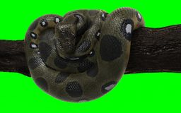 Boa Constrictor with Clipping Path. Green Anaconda. 3d Illustration Boa Constrictor The World`s Biggest Snake Isolated on Green Background with Clipping Path stock photo