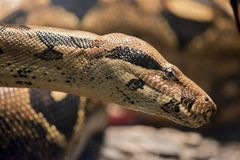 A boa constrictor. This is a close up of a boa constrictor royalty free stock photos